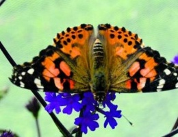 """The Great Butterfly Adventure"" Radio Trail on BBC Four"